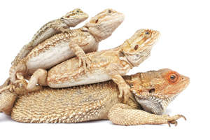 Bearded Dragons Stacking
