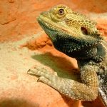 Basking Bearded Dragon