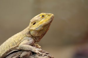 Question about keeping a bearded dragon?