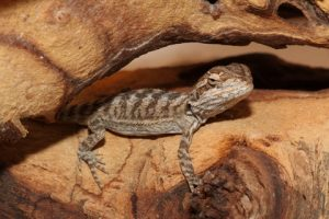 Common Health Issues with Bearded Dragon