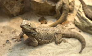 What should I buy for a Bearded Dragon?