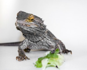 How To Train a Bearded Dragon To Eat Vegetables