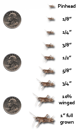 Cricket Size Chart