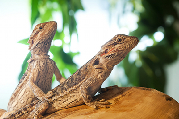 Bearded Dragon Lighting Requirements | Bearded Dragon Care ...