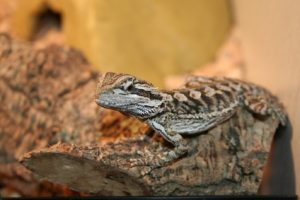 Baby Bearded Dragon Basking