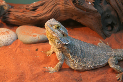 Bearded Dragon Substrate And Decor Bearded Dragon Care Sheet