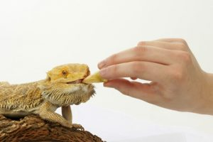 Bearded Dragon Vitamin Minerals
