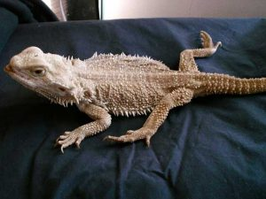 Bearded Dragon with Metabolic Bone Disease