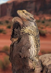 Bearded Dragon Perched on Driftwood