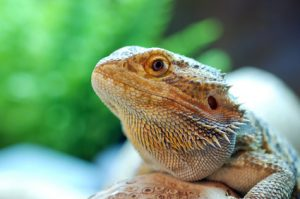 Buying Bearded Dragon