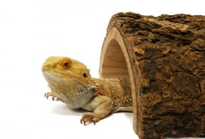 Bearded Dragon Inside Hide Box
