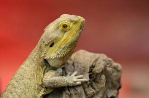 Perched Bearded Dragon