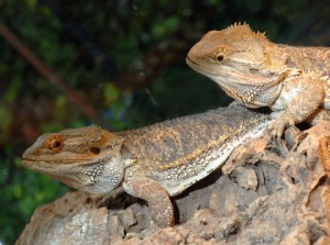 Condition Bearded Dragons Before Mating