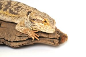 6 Signs of Stress for a Bearded Dragon