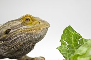 Bearded Dragon with Lettuce