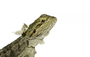 What to Do for a Shedding Bearded Dragon