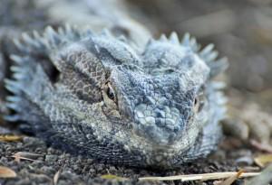 lethargic bearded dragon