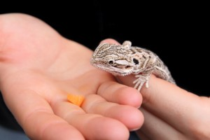 Hand Feeding Bearded Dragons