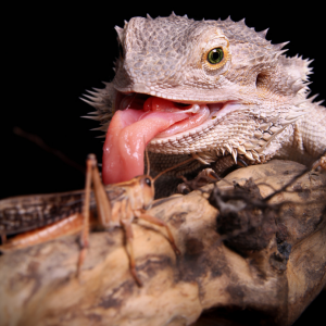 Bearded Dragon Hunting